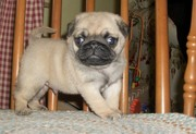 home train pug puppies